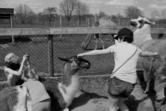 black and white, people, llamas, farm, zoo, social landscape, photo,