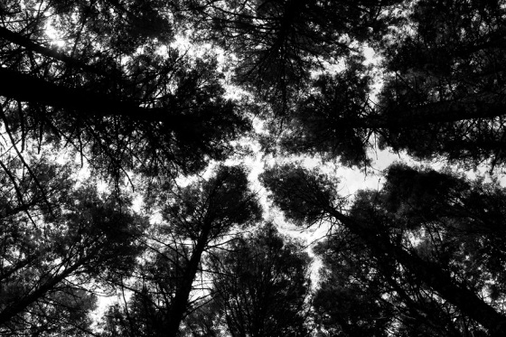 blacl and white, photo, trees, treetops, landscape, forest