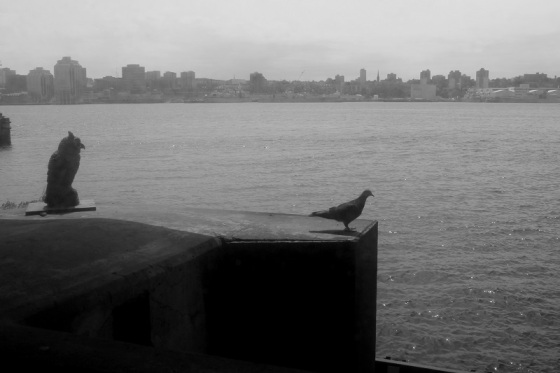 black and white, photo, Halifax Harbour, pigeon,