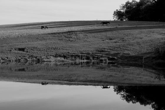 black and white, reflection, photo, horses,