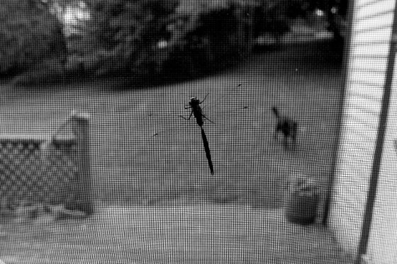 black and white, photo, social landscape, screen door, dragonfly, dog,