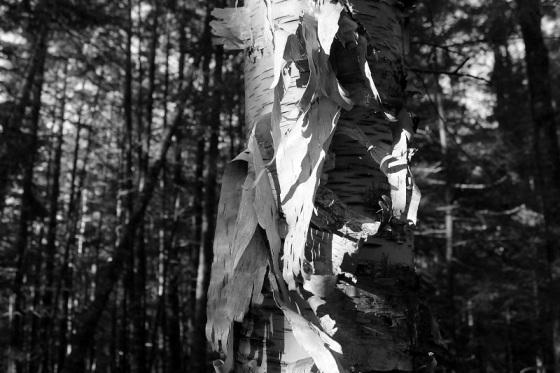 black and white, photo, birch tree, birch bark,