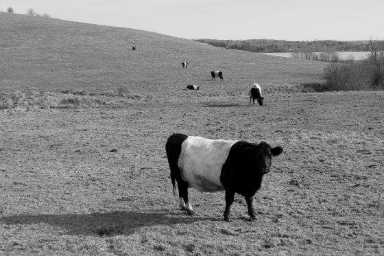 black and white, photo, cows, cattle,