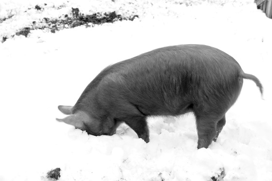 black and white, photo, animal, pig, snow, humour,