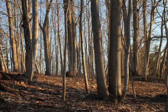 ash trees, Spring, Nova Scotia