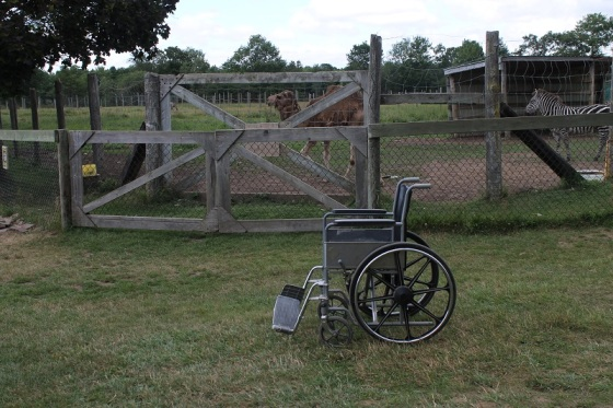 wheelchair, camel, zebra,