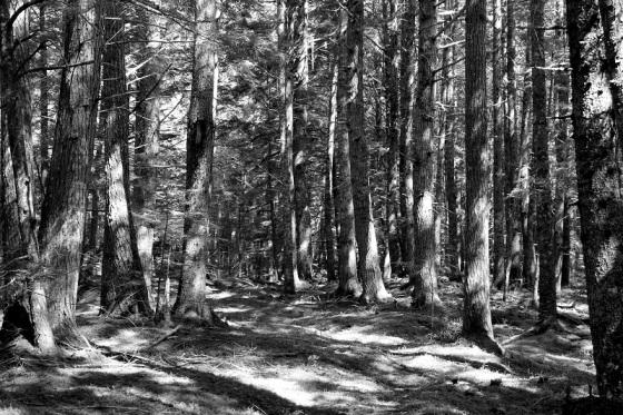 trees, forest, woodlot, hemlock,
