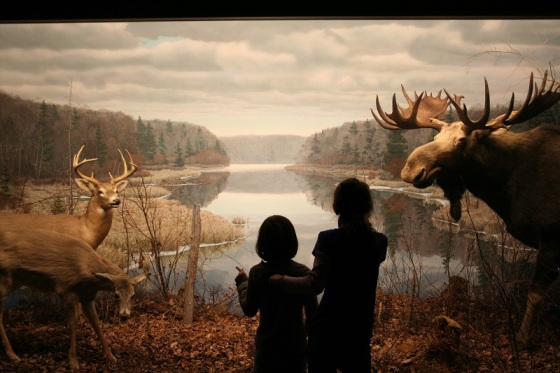 Museum of Natural History, Halifax, deer, moose, taxidermy