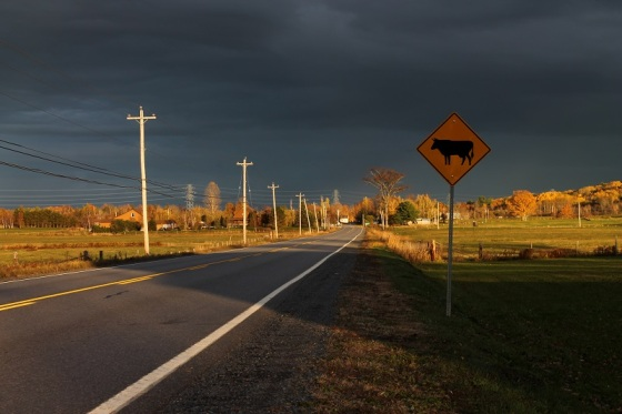 cattle crossing, Hants County,