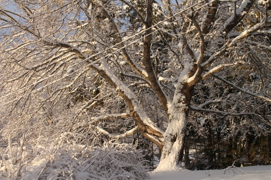 maple tree, snow, winter