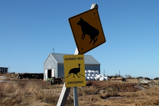 cattle crossing, guinea fowl crossing,