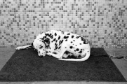 dalmatian, spots,
